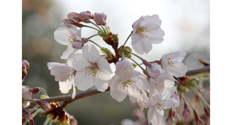 「門出2021」~桜の春~ミックスベリルブレスレットのイメージ画像4