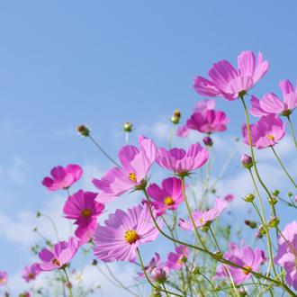 「秋桜」最高品質ルビーブレスレット(御あつらえ~ルビー~)のイメージ画像3