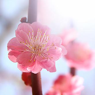 「春告草」高品質クイーンコンクシェルブレスレット(御あつらえ~クイーンコンクシェル~)のイメージ画像3